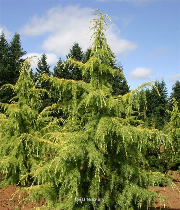 Cedrus Deodara Aurea Whole Nursery Supplies Plant Growers In Oregon