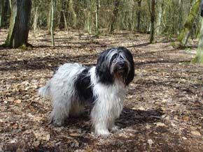 schapendoes dog photo | Our schapendoes kennel and dogs | Van Dolle Doezenpret