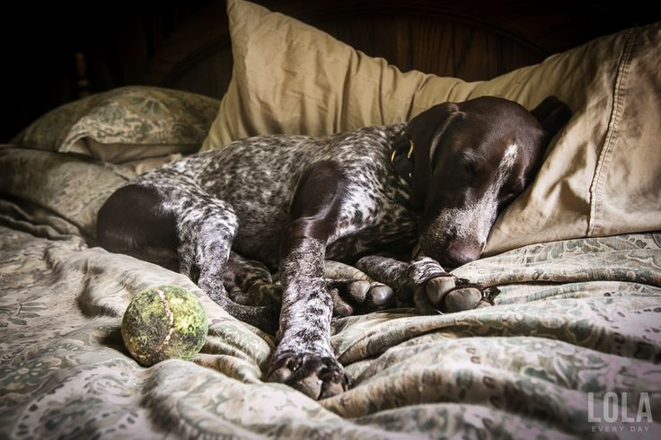 german-shorthaired-pointer-sleeping-in-bed