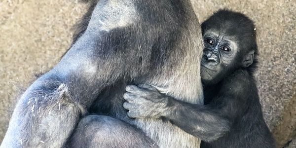 Petition This Baby Gorilla Was One Of Her Species S Last Hopes She Died After Six Days In 2020 Baby Gorillas Gorilla Woodland Park Zoo