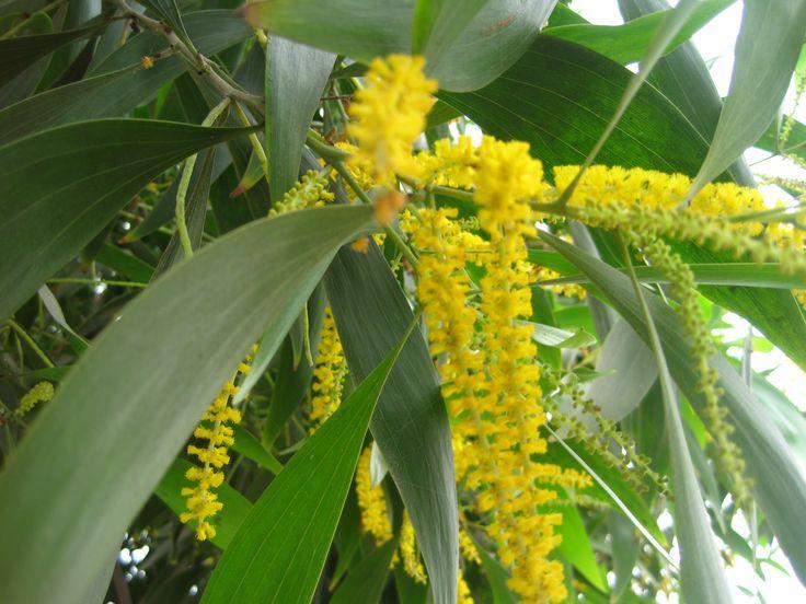 jolie fleur jaune d 39 un arbre elle rappelle un peu le mimosa de france et ressemble une. Black Bedroom Furniture Sets. Home Design Ideas