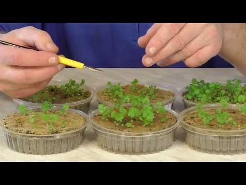 Как вырастить клубнику земляникү из семян. Ч.1 - YouTube