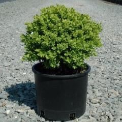 Buxus sempervirens 'Woodburn Select' Dwarf American Boxwood – Kelly Nursery LLC