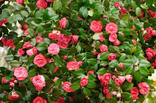 How To Prune Camellias Ehow Com In 2020 Colorful Shrubs Winter Shrubs Winter Garden
