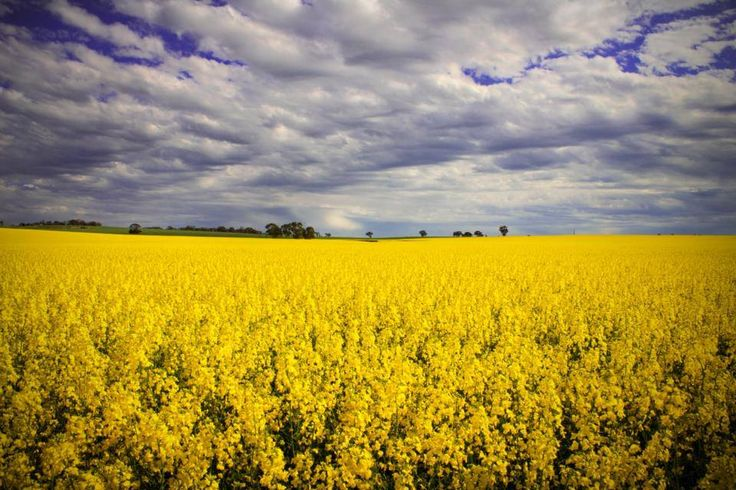 Spring canola crop, Clare Valley, SA like dramatic clouds hhh