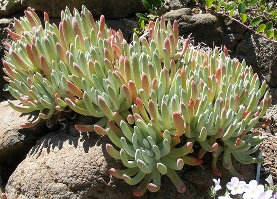 Dudleya caespitosa - Native to the California coast from LA on up to Monterey. Photo courtesy of Ken Blackford