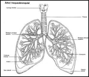 TU SALUD Y BIENESTAR : Los pulmones: en la caja torácica, tu Alma
