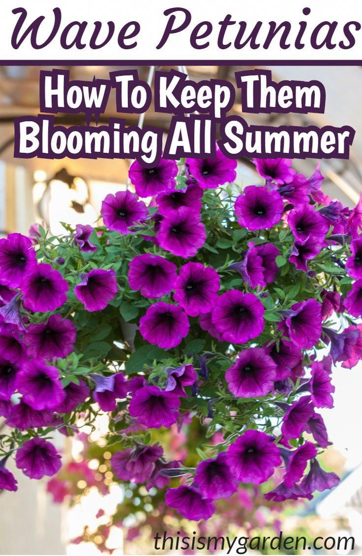 How To Keep Your Wave Petunias Blooming Booming All Summer Long Wave Petunia Hangingbasket Potte Wave Petunias Container Gardening Flowers Petunia Plant