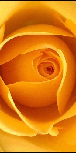 Eye of a Rose | ORANGE | Pinterest | Rose, Eye and Flowers