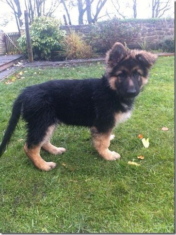 GSD Puppy                                                                                                                                                                                 More
