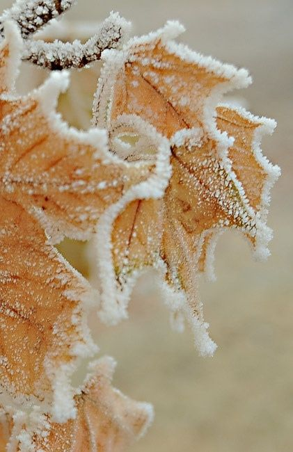 Frost | Snow Covered Leaves and Branch in Winter | Brisk and Cold | Stunning and Stark Beautiful Nature | Natural Inspiration | Orange | White