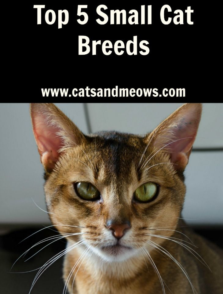 Top 5 Small Cat Breeds  Check out these tiny fluffy lap-monsters.  These small cat breeds are ideal for people who live in tight spaces or for those who just like small cats.  No matter how small they are they will give you oodles of love!