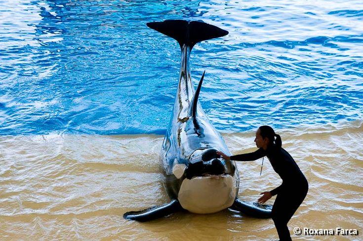 Dincolo de spectacolele destul de obişnuite şi cam scurte cu delfini, foci, lei de mare sau papagali, poate că cea mai frumoasă surpriză e dresura de orci. la Loro Parque