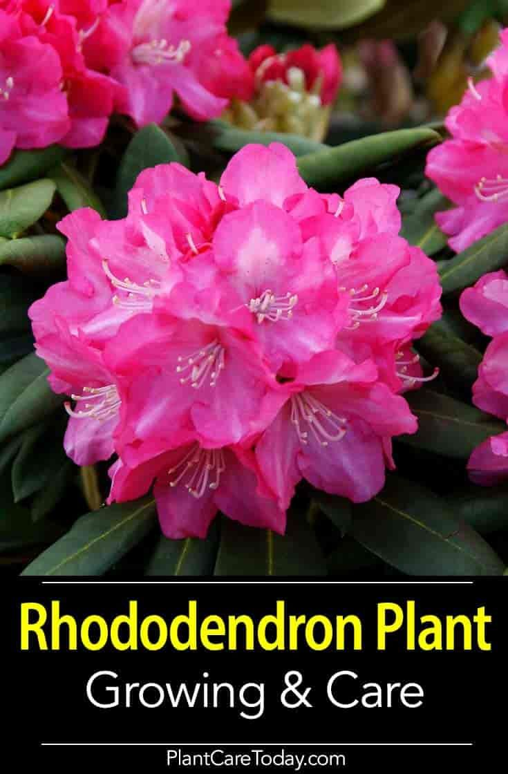 Rhododendron Plant How To Care And Grow Rhododendrons