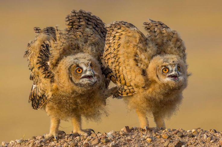 """""""Dos polluelos de búho faraón están juntos en el desierto de Kuwait."""" FOTOGRAFÍA DE MOHAMMAD MURAD , NATIONAL GEOGRAPHIC YOUR SHOT"""