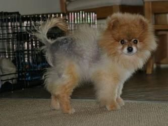Black Skin Disease in Dogs, Alopecia X. DERMagic Skin Rescue Lotion formulated for hair loss in dogs. Pomeranians seem more prone to Black Skin Disease than others.