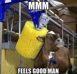 Αποτέλεσμα εικόνας για Little cow enjoying a massage