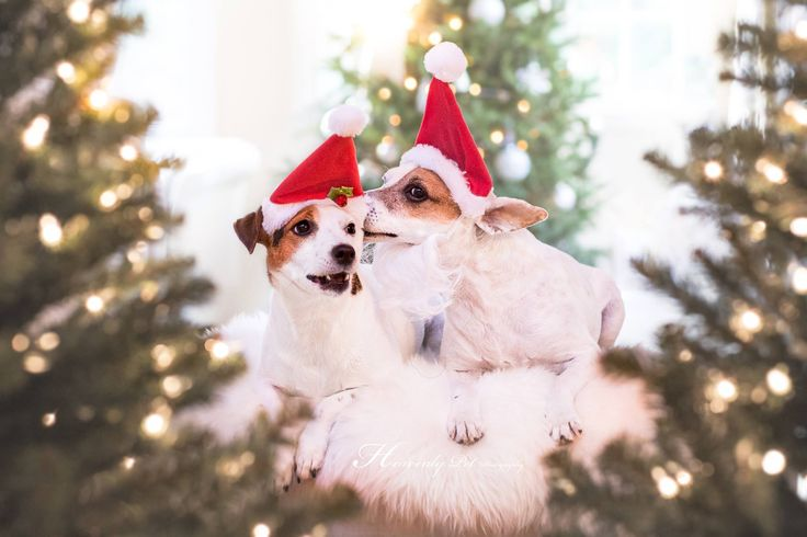 Jack Russell Terriers Christmas Holiday Secret by Heavenly Pet Photography #cutest #dogs #hats #photographer