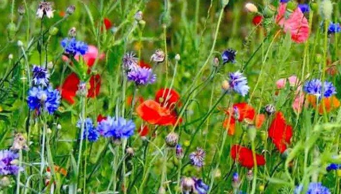 Самосеющиеся цветы для мавританского газона: эшшольция; календула; фацелия, нигелла или чернушка, иберис; маки однолетние. Кроме названных, находят на мавританском газоне уместны тагетесы (бархатцы), маттиола, немезия, диморфотека, лен, гипсофила, вискария (смолка) и другие не менее красивые цветы.