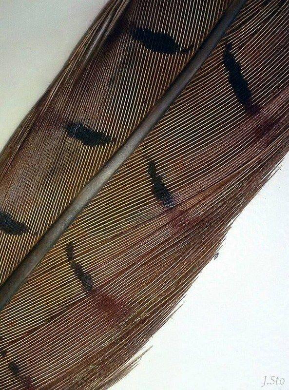 Common pheasant feather (Phasianus colchicus)