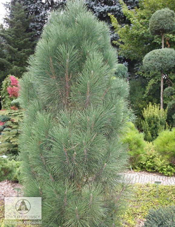 Pinus nigra 'Pyramidalis' - Сосна чёрная 'Pyramidalis'