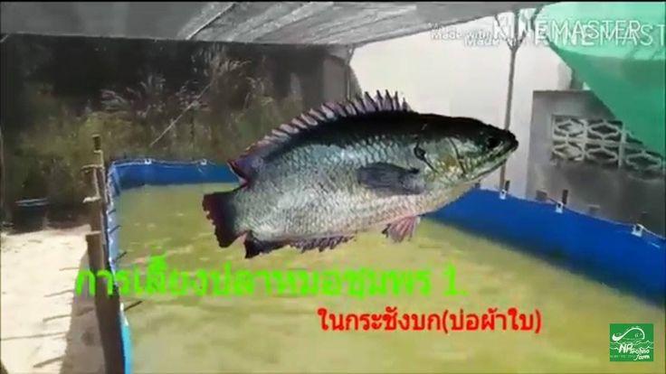 การเล ยงปลาหมอในบ อผ าใบ กระช งบก Youtube กบ