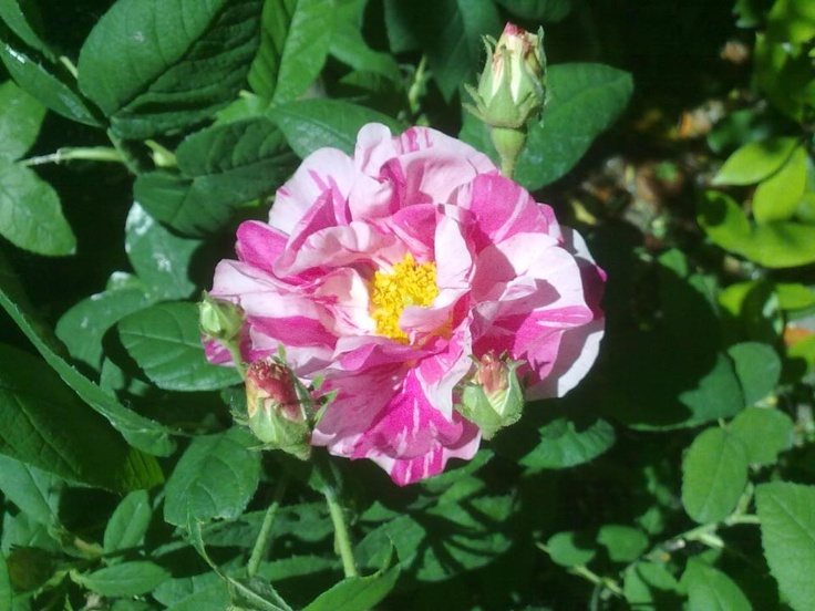 Rosa Mundi.