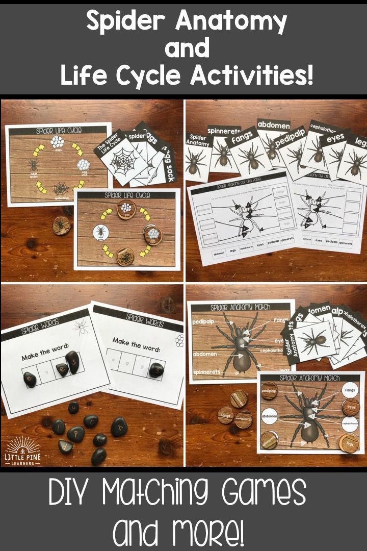 Spider Anatomy And Life Cycle Activities Little Pine Learners