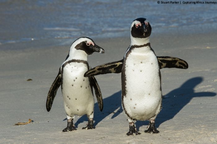 Penguins walking together at Boulders Beach on my Cape Peninsula tour