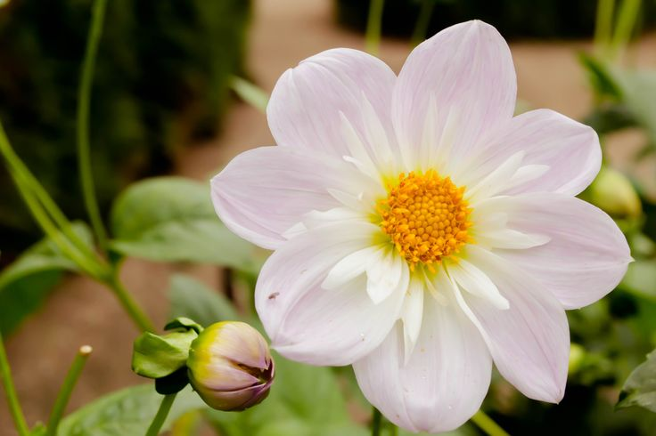 White Dahlia by Tine Nordbred on 500px