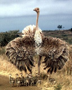 Oudtshoorn - home of the Ostrich
