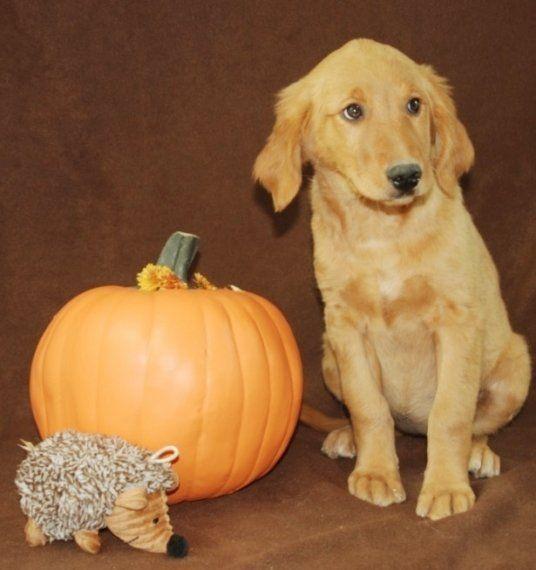 Georgia - A Goldendoodle Puppy