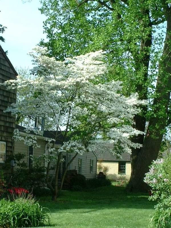 picture of regular dogwood not in bloom | ... from the Garden: Flowering dogwood tree versus kousa dogwood tree