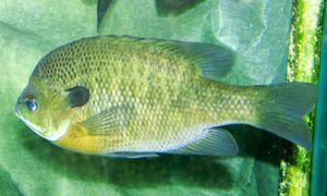 Bluegill Bluegills, вероятно, один из самых непритязательный рыбы. Они будут есть почти все, но это не значит, что вы должны кормить их только что-нибудь. Придерживайтесь диеты насекомых, зоопланктоном, мелкой рыбой и червями. Замороженные мотыля хороши, а также любой чешуйчатого или гранул типа корма для рыб.  С точки зрения предпочтительной температурой для резервуаров для воды может варьироваться от 16 до 27 ° C (от 60 до 80 ° F).