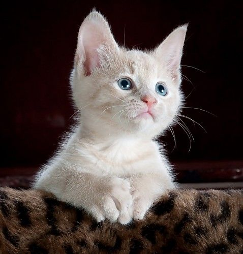 Pequeño gatito siames sobre manta animal print