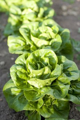 Lettuce 'Buttercrunch' AAS 1963 Winner
