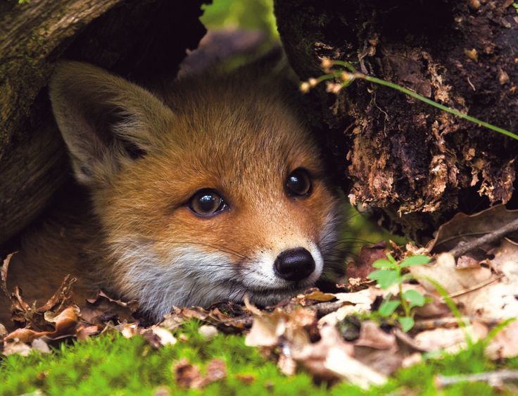 Everything Fox - Baby fox getting ready for a sneak attack ...