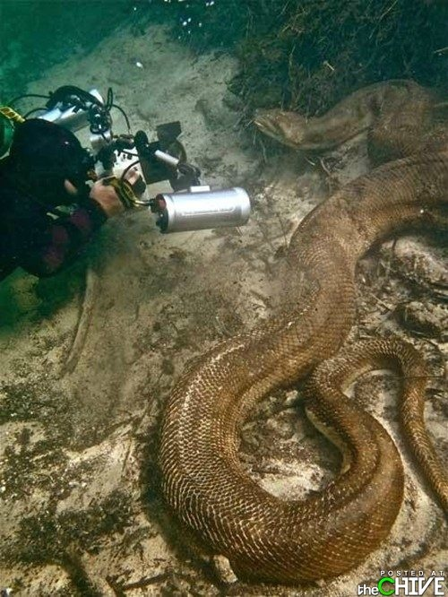 An anaconda is a large, nonvenomous snake found in tropical South America. Although the name actually applies to a group of snakes, it is often used to refer only to one species in particular, the common or green anaconda, Eunectes murinus, which is one of the largest snakes in the world.