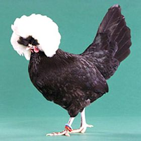 White Crested Black Polish Bantam from My Pet Chicken