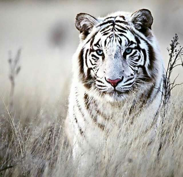 White tigers are beautiful