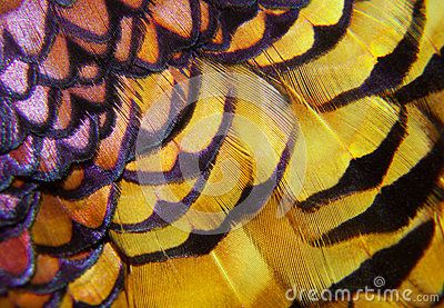 Pheasant Feathers - Colourful Macro - Download From Over 38 Million High Quality Stock Photos, Images, Vectors. Sign up for FREE today. Image: 62714180