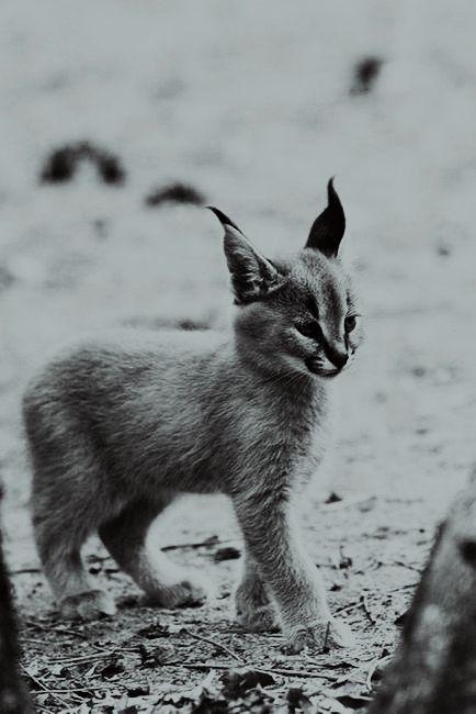 Baby Lynx.      Jeremiah says he looks like a goat, cat, lynx mix.