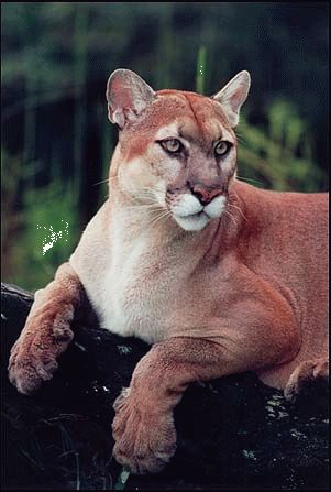 Cougar ~ so big and so beautiful. I have been fortunate to see them in the mountains throughout my life.