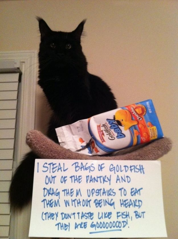 Cat-Shaming At Its Best  (I agree, Goldfish are so goood!) I do think cat-shaming is ineffective because cats don't care what you think.