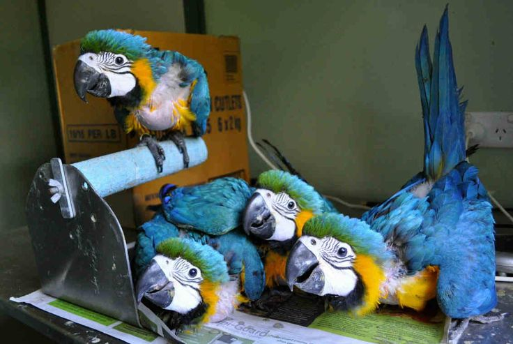 Exotic Live Blue & Gold Macaw Parrot For Sale, rganic Pet World Royal Wings
