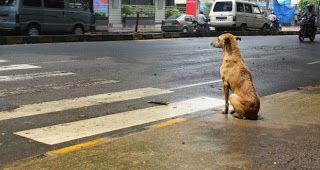 Perro muy sabio al cruzar la calle