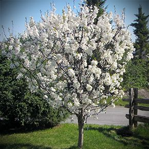 Canada plum - Prunus nigra - The best plum pollinator - The Hardy Fruit Trees Nursery. This wild plum tree is native to Canada and will pollinate American and Asian plum trees. The small fruit are delicious if left to ripen fully on the tree. Ideal for jams and jellies too.  They are impressive to look at when in bloom. Height at maturity: 15 feet