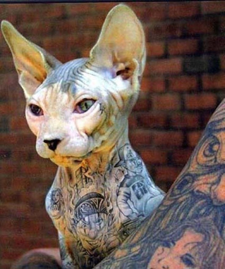 Hairless Cat  Tattoo Artists  Sphynx Cat  A Tattoo  Sphinx Cat  Tattoo    Hairless Cat With Tattoos