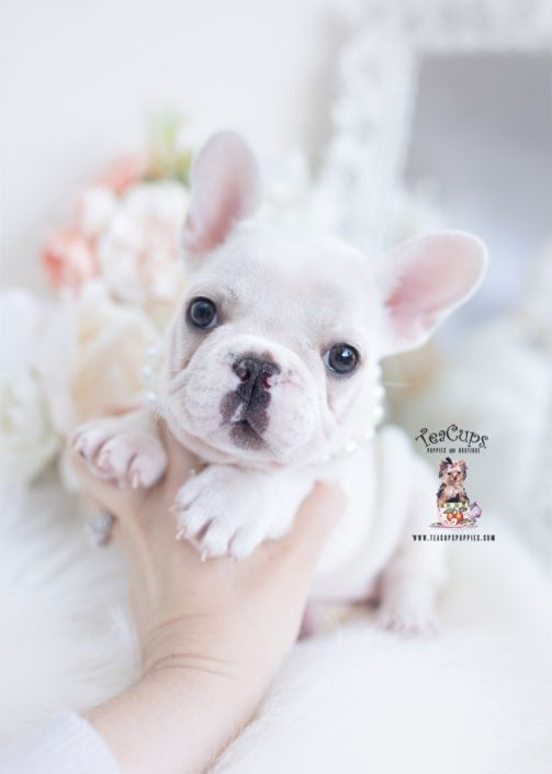 White French Bulldog Puppy For Sale 264 A In 2020 Teacup Puppies White French Bulldog Puppies French Bulldog Puppies