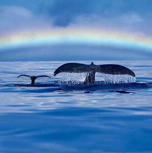 Whales. Coast of Maui.